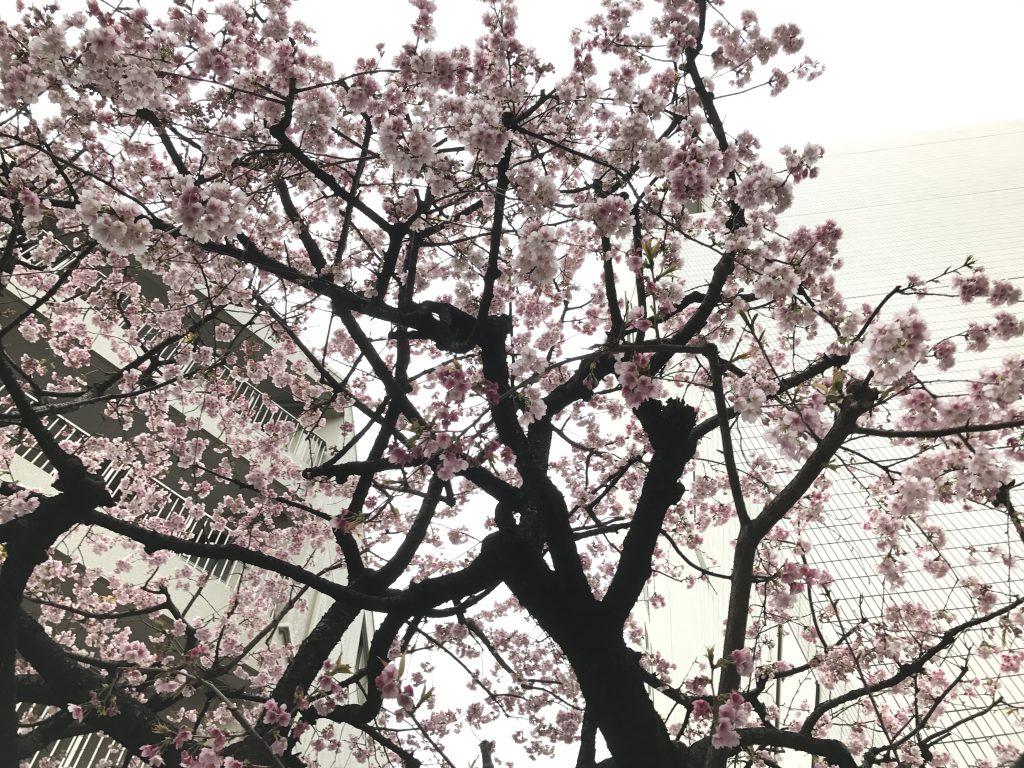 六本木 永坂の桜